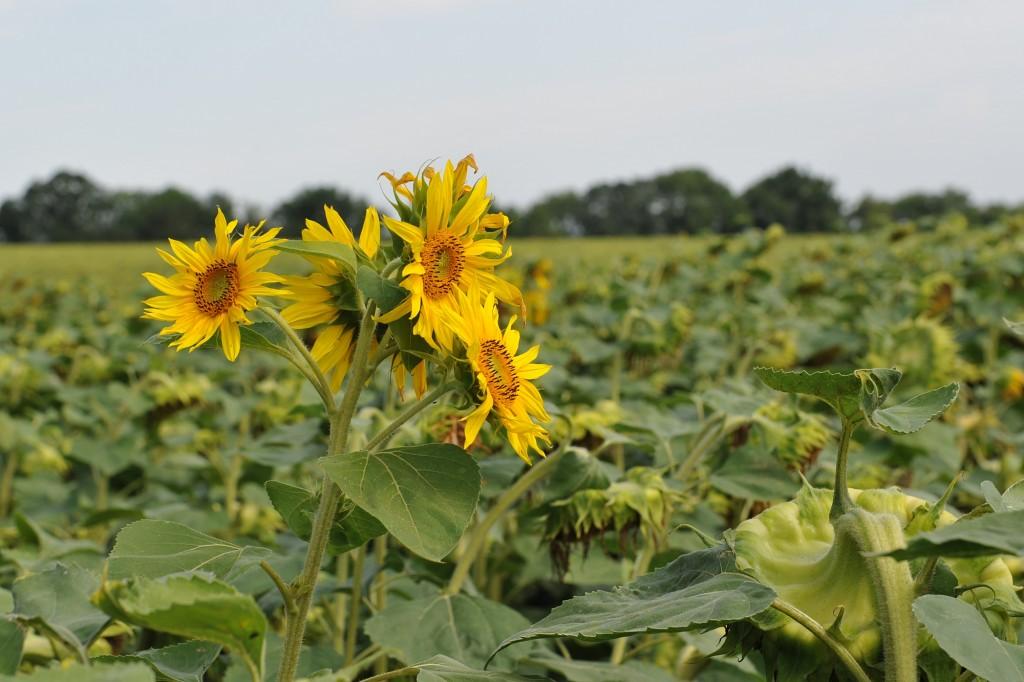 Campingplatz Finsterhof - Sommer am Finsterhof: Die meisten Sonnenblumen sind schon abgeblüht, nur vereinzelt kommen noch prächtige Blütenstände zum Vorschein
