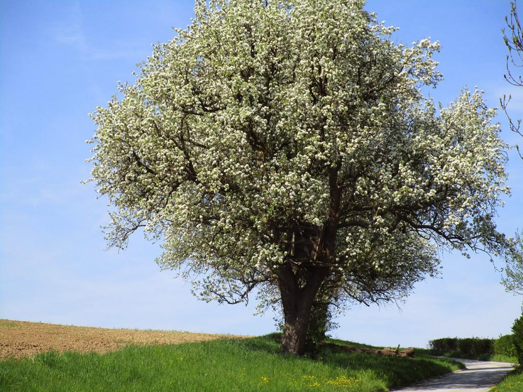 Baum im April